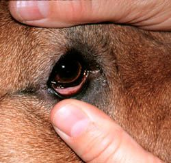 Dog Pink Eye Untreated