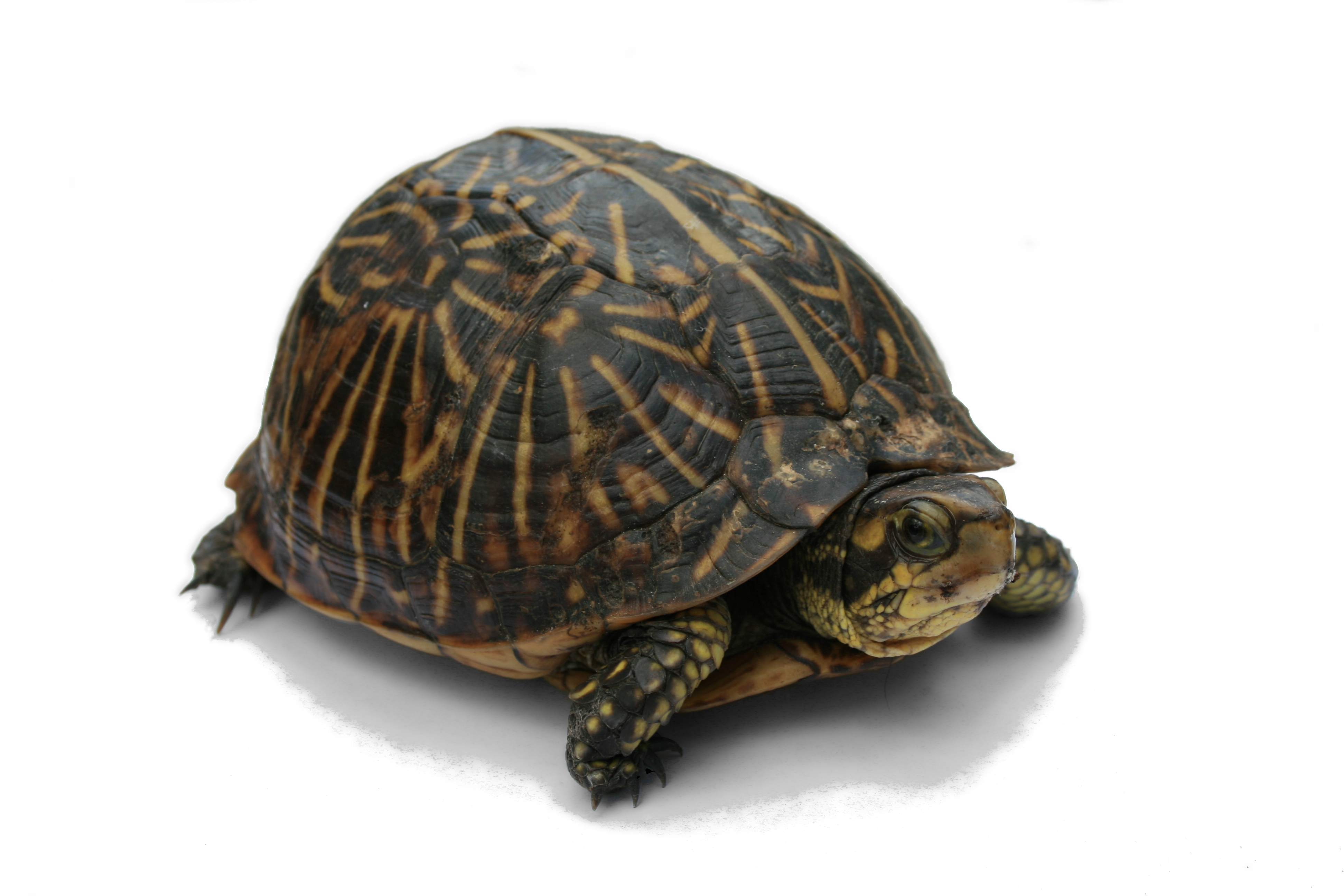 Your Turtle Can Have an Unhealthy Shell! » Albuquerque VetCo