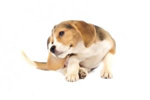 albuquerque veterinarian dog ear infection