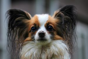 veterinarian papillon albuquerque