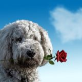 Pet Safety Tips Valentines Day