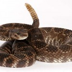 Rattlesnakes vaccines in Albuqeurque