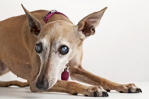 Is Your Dog Blind Albuquerque Vetco