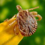 Ehrlichia tick disease
