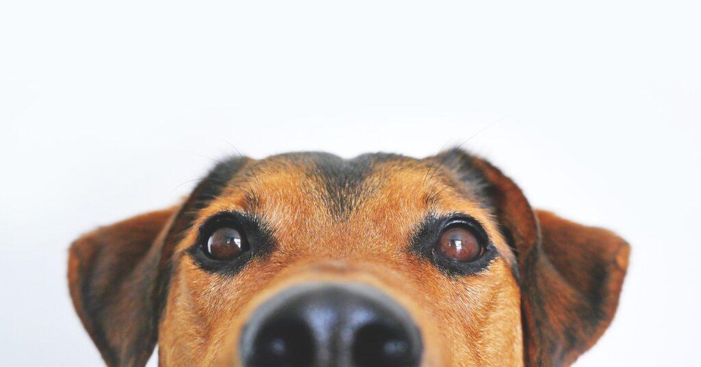 albuqeurque cbd dog